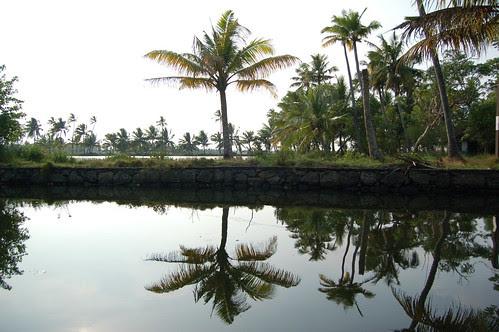 Eine Palme spiegelt sich in der Lagune in den Backwaters von Kerala