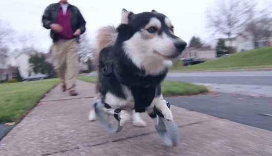 Dog Runs For First Time In His Life, Thanks To 3-D-Printed Legs