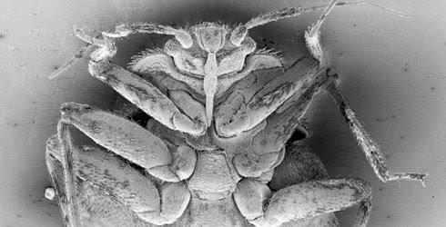 bedbug from NHM