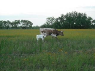 New Longhorn Bull Calf Luchador