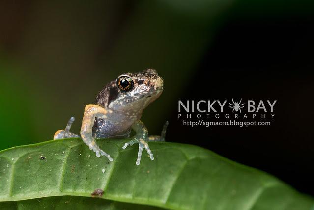 Frog (Anura) - DSC_8020