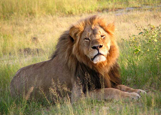 Cecil The Lion To Become First Animal Saint
