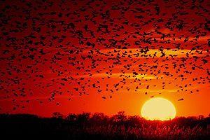A flock of Red-winged Blackbirds (Agelaius pho...