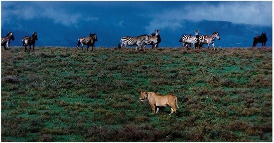 Serengeti lion and zebras