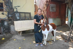 Two Sacrificial Goats by firoze shakir photographerno1
