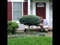 Landscaping Dwarf Globe Blue Spruce