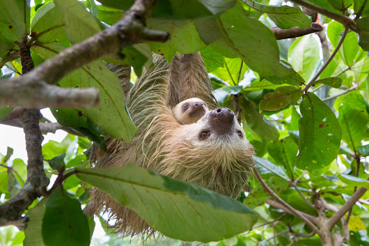 "CALL TO ACTION - the sloth ""sanctuary"" of Oregon - The Sloth Conservation Foundation"
