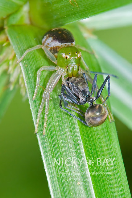 Crab Spider (Thomisidae) - DSC_0265