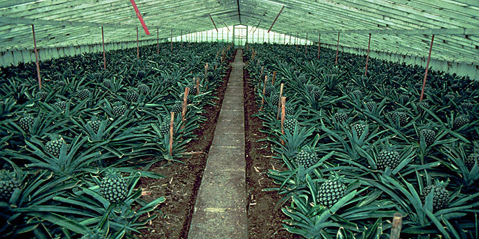 Ananasplantage Azoren