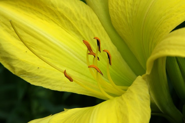 daylily, o'bryant square