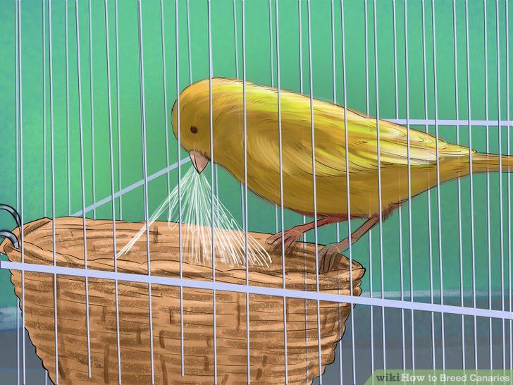 Breed Canaries Step 5 Version 2.jpg