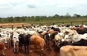 Fazendeiro tem mais 60 cabeças de gado furtados em Esperantinópolis.