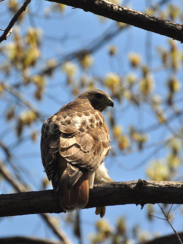 Perching Red-Tail