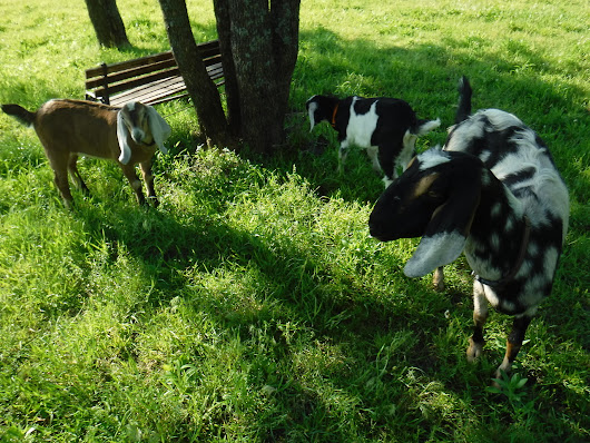 Tanglebriar Nubians — Three new additions to the Tanglebriar herd, 4...