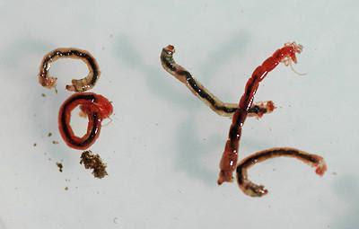 Крупный мотыль чья личинка