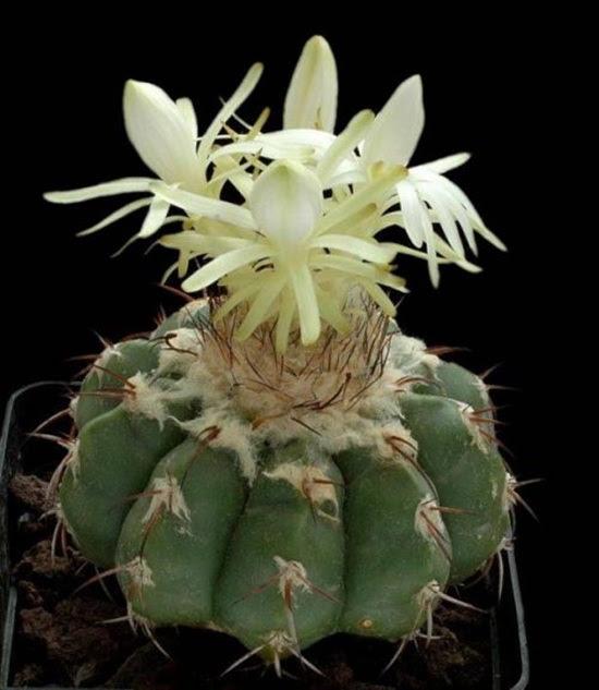 cactus-flowers- (24)