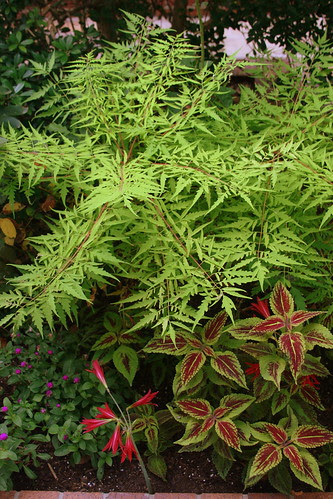 rhus cultivar, forget the name