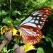butterfly - Chestnut Tiger (Parantica sita)