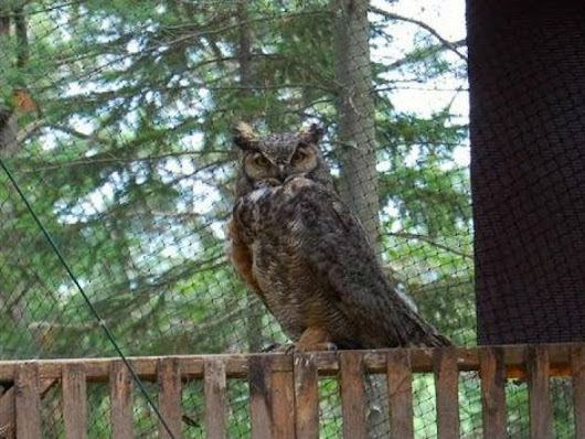 Owl That Can't Avoid Trouble Back At Rehab Center