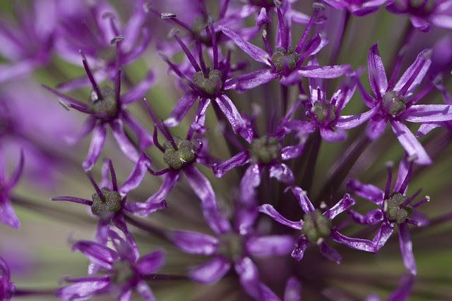 purple bloom
