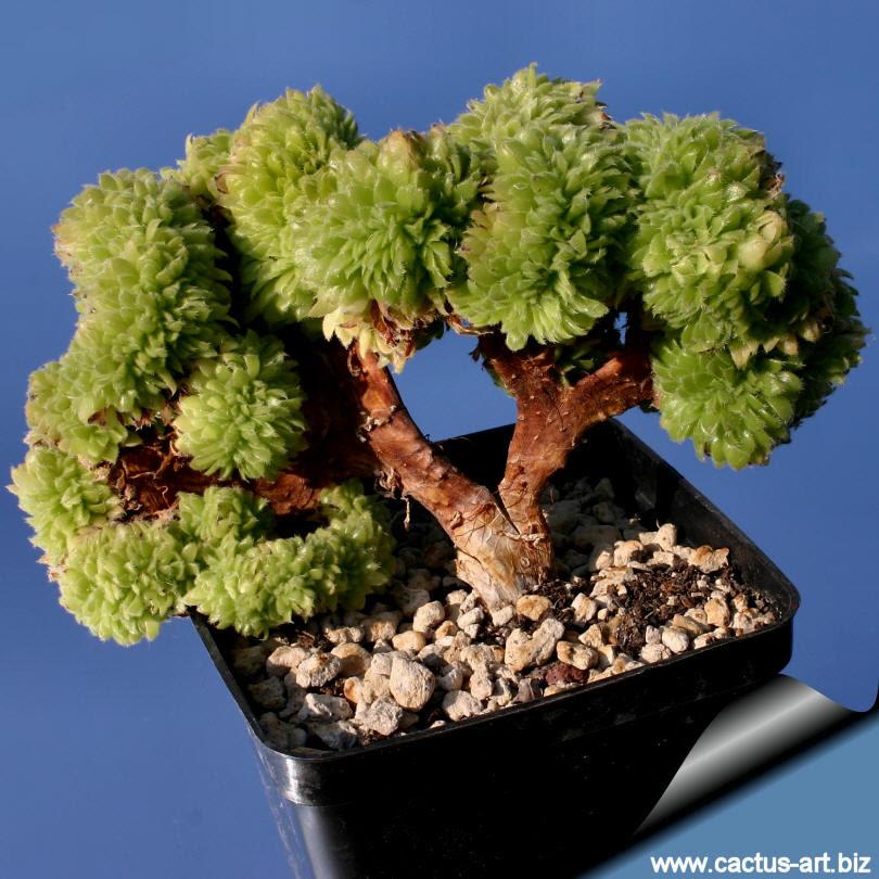 Aeonium Bonsai Borosilicate Quando Site