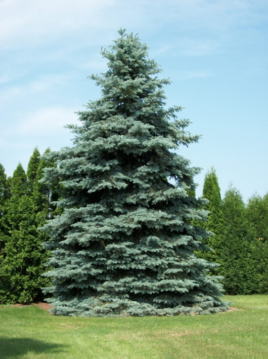 Spruce Trees for Sale | Caledon Treeland