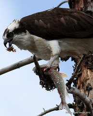 Osprey with fresh catch by Sheree (Here intermittently)