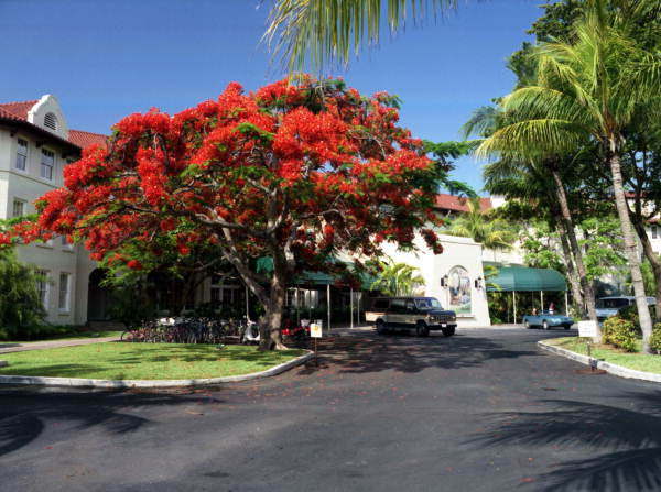 "Royal Poinciana tree next to the ""Casa Marina Hotel"" on Reynolds Street, Key West, Florida."