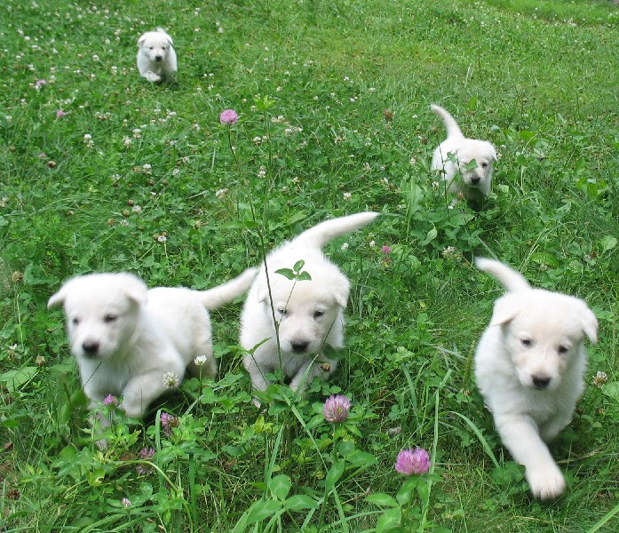 Buy White German Shepherd Puppies DOgs For Sale Near Me In Singapore