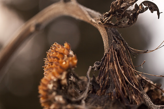 sunflower head in January2