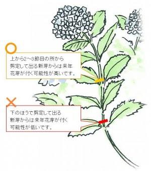 剪定 仕方 紫陽花 の