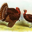 Raising Turkeys for Market in the 1800s - Geri Walton