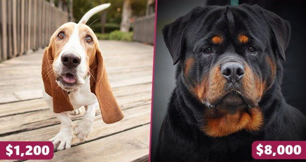 Meet the priciest dog breeds in the world and they are simply a delight