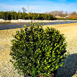 Buy Holly Trees Online | The Tree Center™