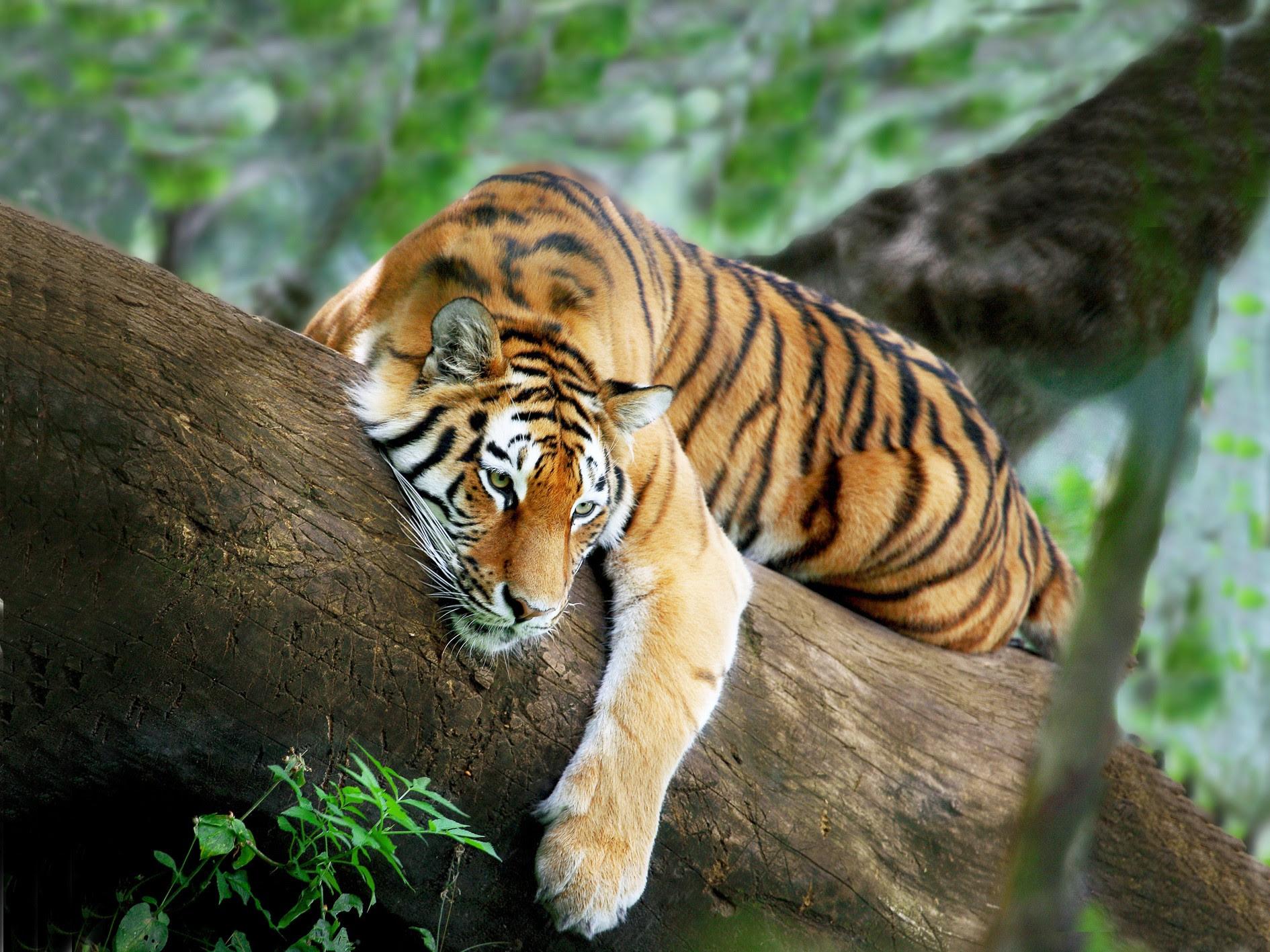 Fractal Tiger Hd Desktop Background Wallpaper Free Tigers 1890x1417