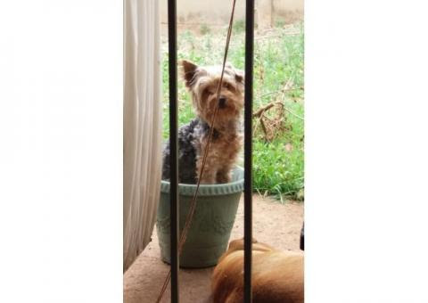 Missing Yorkie male | Gauteng | Vereeniging | Yorkshire Terrier