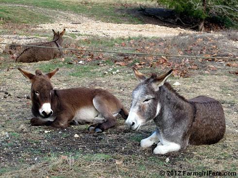 Donkey hangovers 5 - FarmgirlFare.com