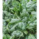 Spinach Bloomsdale