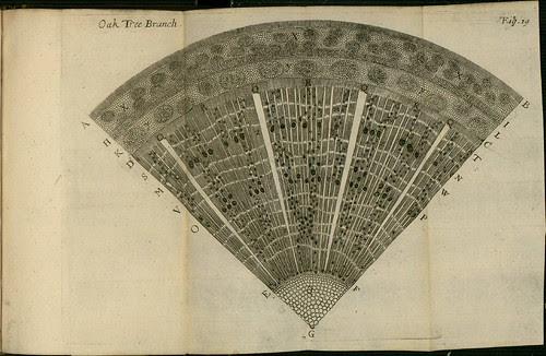 Oak Tree Branch - The comparative anatomy of trunks - Nehemiah Grew 1675