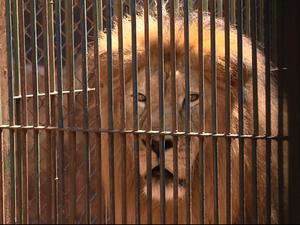 Leão sequestrado em São Paulo foi encontrado em Maringá (Foto: RPC TV Maringá/Reprodução)