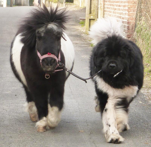 2. Little Pony and the size of a large dog, the dog