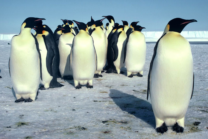penguins20 (700x466, 337Kb)