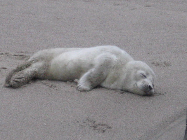 Baby Seal - Lincoln City, OR