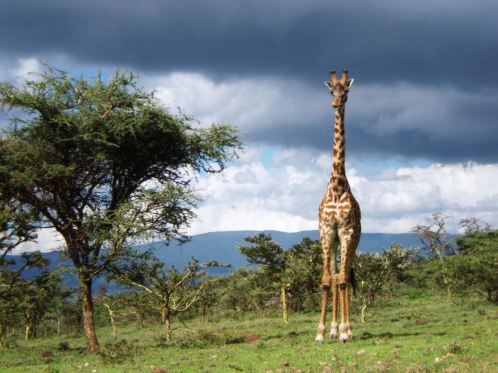 Giraffe in Serengeti National Park, Tanzania