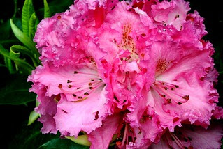 Rhodies Are In