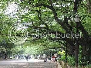 Impressionant avinguda de Cirerers/Sakures