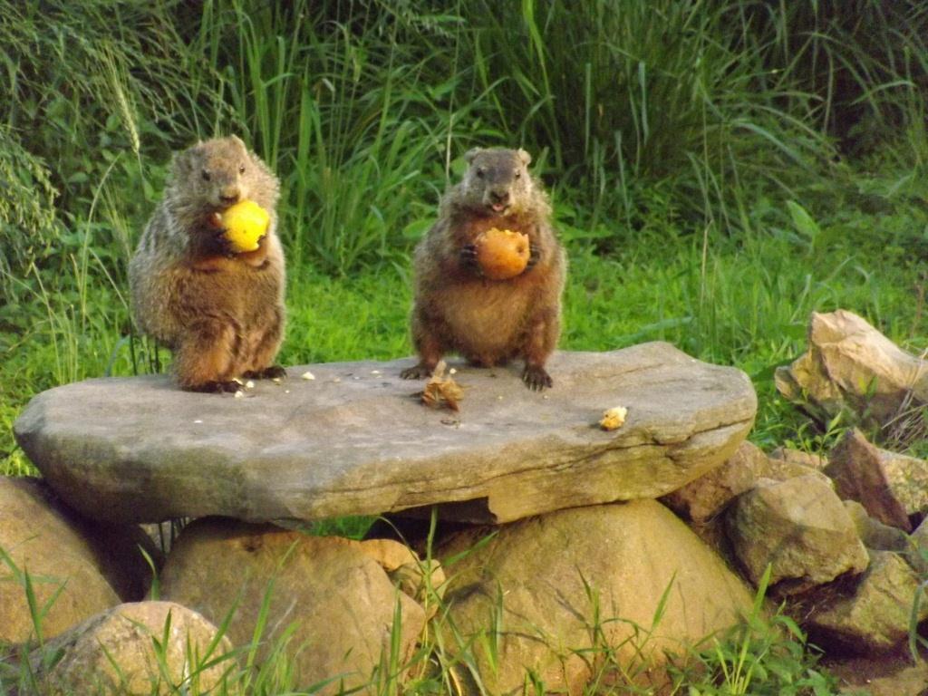 Groundhog In Backyard   Homideal
