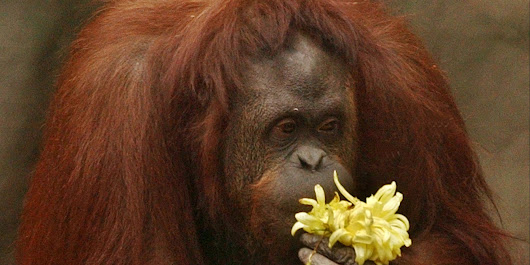 Court Rules Captive Orangutan Is 'Non-Human Person' And Can Be Freed
