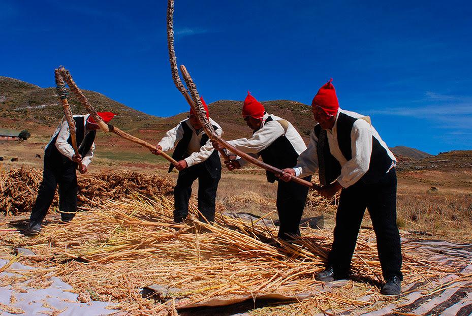 Preparación de trilla tradicional de quinua en Puno – Perú. Fotografía por Heinz Plenge.