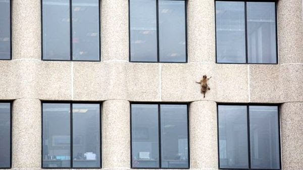 A snapshot of MPR Raccoon scaling the side of the UBS Tower in St. Paul, Minnesota...on June 12, 2018.